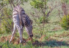Free A Zebra Foal Eats Dirt To Supplement Its Diet Stock Images - 133346654