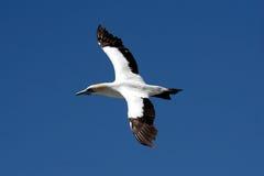 a4 ακρωτήριο gannet Στοκ Εικόνες