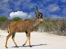 Aa Taureau solitaire (mâle) Kudu dans la marche d'Etosha Photo libre de droits