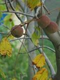 Aadu. A fruit that grows at uttrakhand Stock Photos