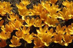 Açafrões amarelos Foto de Stock Royalty Free