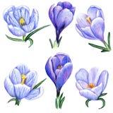 Açafrões desenhados à mão Fotografia de Stock Royalty Free