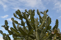 AAgainst dos cactos um céu azul nebuloso Foto de Stock