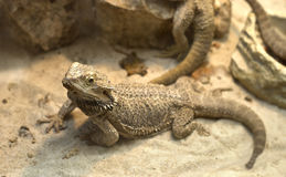 Aagamid  lizard crawling on sand Royalty Free Stock Photos