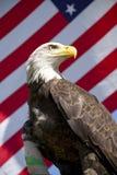 Aagle calvo danneggiato con la bandierina Fotografia Stock Libera da Diritti