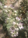 Aak flower Royalty Free Stock Image