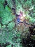 Aal auf einem Wrack weg vom Pompano-Strand Stockfoto