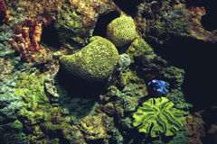 Aal auf Korallenriff Stockfoto