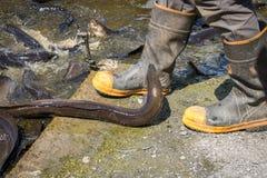 Aal, der aus Wasser zu große Zufuhr tragenden gumboots herauskommt Lizenzfreie Stockfotografie