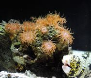 Aal, der neben einem Felsen bedeckt mit Seeanemonen hängt Lizenzfreie Stockfotos