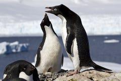 Aal en vrouwelijke Adelie-pinguïnen bij het nest Stock Foto