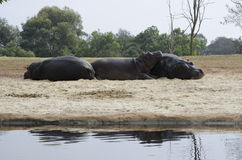 Aalende Flusspferde Lizenzfreie Stockbilder