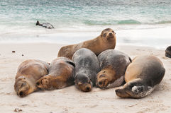 Aalende Galapagos-Seelöwen, die auf einem Strand schlafen Stockbild