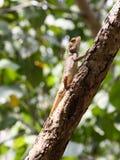 Aalende orientalische Garten-Eidechse auf Zweig Stockfotos