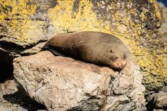 Aalende Pelzrobben in Neuseeland-Küste Stockbild