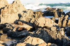 Aalende Pelzrobben in Neuseeland-Küste Stockfotos