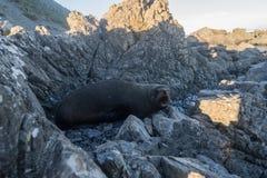 Aalende Pelzrobben in Neuseeland-Küste Lizenzfreies Stockbild