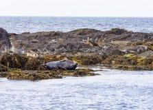 Aalende Robben Stockfotografie