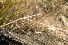 Aalende Sandeidechse - Lacerta agilis auf einem alten Stumpf Stockfotos