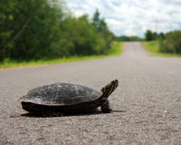 Aalende Schildkröte Stockbilder