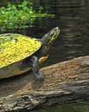Aalende Schildkröte auf Santa Fe River Lizenzfreies Stockbild