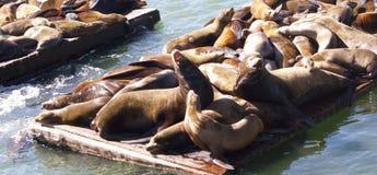 Aalende Seelöwen Stockfotos