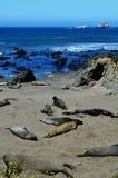 Aalende Seelefanten, Pazifikküste, nahe Morro-Bucht, Kalifornien, USA Stockfoto