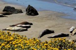 Aalende Seelefanten, Pazifikküste, nahe Morro-Bucht, Kalifornien, USA Lizenzfreies Stockfoto