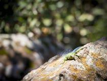 Aalender Emerald Swift Lizard Stockbilder