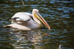 Aalender großer weißer Pelikan, Pelecanus onocrotalus, Stockbilder