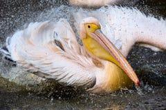 Aalender großer weißer Pelikan, Pelecanus onocrotalus, Lizenzfreies Stockfoto