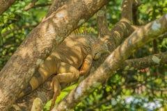 Aalender Leguan Lizenzfreies Stockfoto