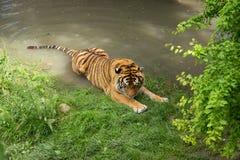 Aalender Tiger Lizenzfreie Stockfotos