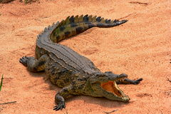 Aalendes Krokodil Lizenzfreie Stockbilder