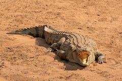 Aalendes Nil-Krokodil Lizenzfreie Stockfotos
