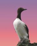 aalge海雀科的鸟尿 库存图片