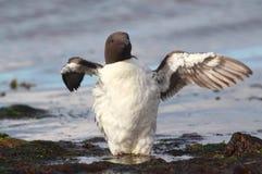 aalge guillemot φτερό uria τεντώματος Στοκ Φωτογραφίες