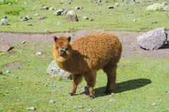 Aalpaca na grama verde Imagem de Stock
