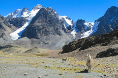 Aalpaca standing on stones. Llama and alpaca animal in South America. Aalpaca standing on stones in the Andes near snowcapped mountain Stock Photo