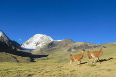 Aalpacas cerca de la montaña coronada de nieve Foto de archivo libre de regalías