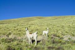 Aalpacas en la colina verde Foto de archivo