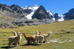 Aalpacas en las montañas de los Andes Foto de archivo libre de regalías