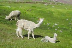 Aalpacas na grama verde Fotos de Stock Royalty Free