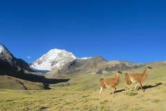 Aalpacas nahe schneebedecktem Berg Lizenzfreies Stockfoto