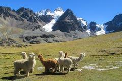 Aalpacas nelle montagne delle Ande Fotografia Stock Libera da Diritti