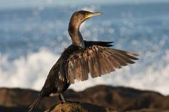 Aalscholver die zijn vleugels droogt stock foto's