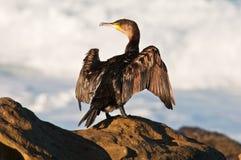 Aalscholver die zijn vleugels droogt royalty-vrije stock foto