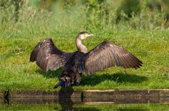 Aalscholver, Great Cormorant, Phalacrocorax carbo stock photography
