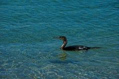 Aalscholver het zwemmen royalty-vrije stock foto's