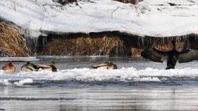 Aalscholver op ijs stock video